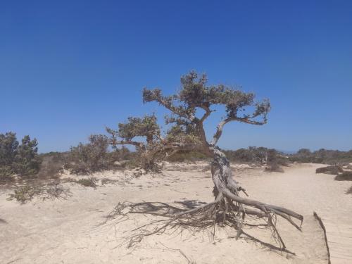 drzewa cedru libijskiego