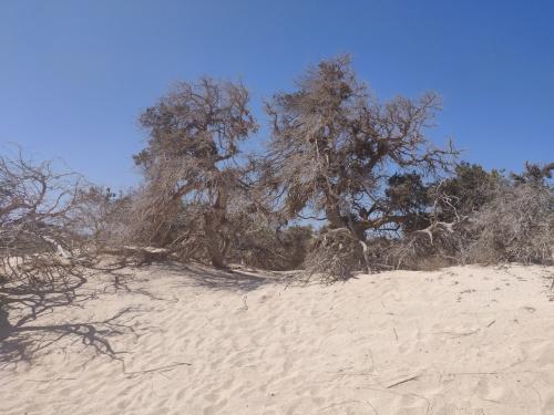 las cedru libijskiego